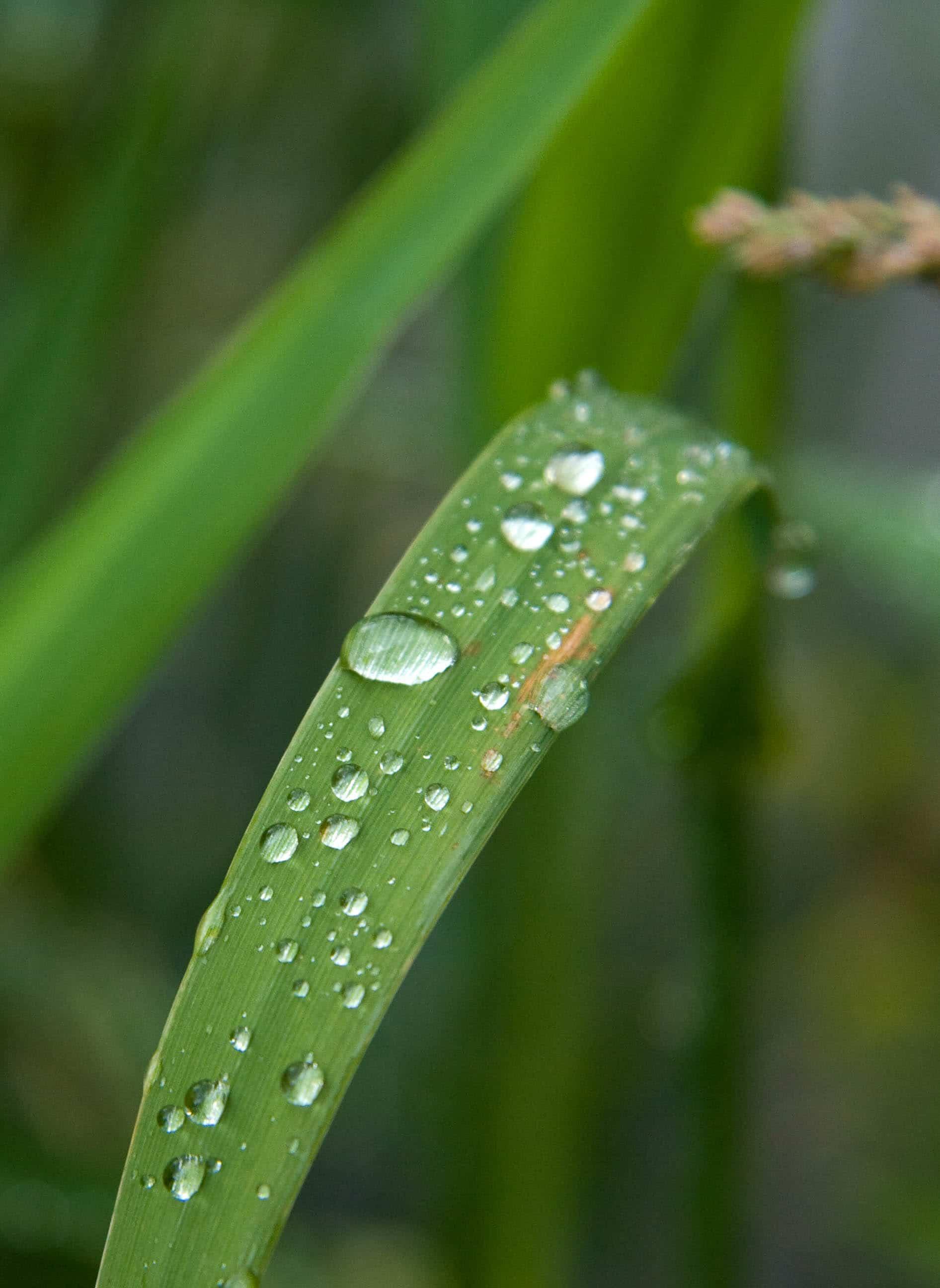Gras bei Regen